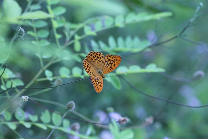 Argynnis Paphia Green Nymphalidae Animal Animal Themes Animal Wildlife Animal Wing Animals In The Wild Beauty In Nature Butterfly Butterfly - Insect Close-up Flower Flower Head Flowering Plant Focus On Foreground Fragility Insect Invertebrate Nature No People Outdoors Plant Plant Part Pollination