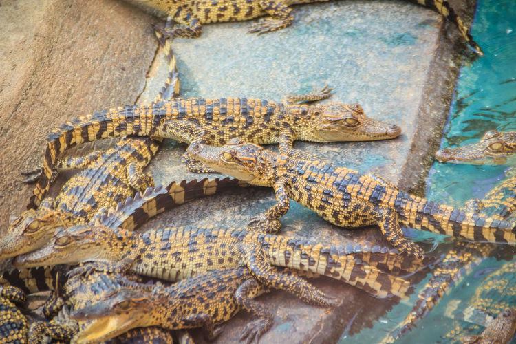 High angle view of crocodile in zoo