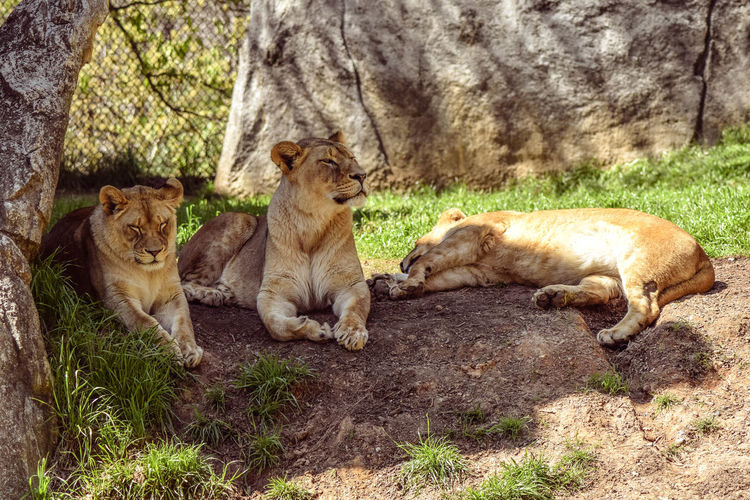 Lionesses with cub lying on field