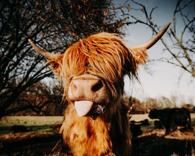 What a great model ! EyeEm Selects Mammal Animal Animal Themes Tree Domestic Animals No People Nature One Animal Livestock Plant Domestic Field Day Focus On Foreground Pets Cattle Vertebrate Sunlight Cow Brown
