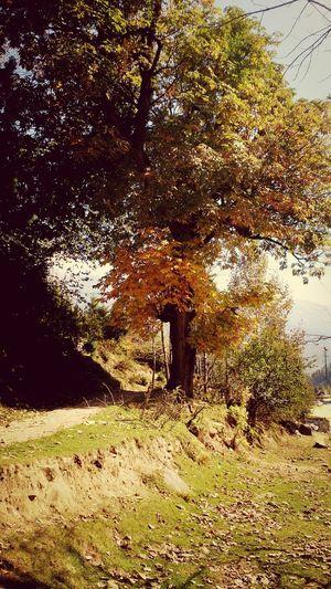 Autumn Colors mapple tree Taking Photos