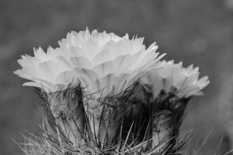 Cactus Flower Blackandwhite Cactus Black & White Flower Head Flower Springtime Petal Uncultivated Close-up Plant In Bloom Plant Life Blooming Thorn Spiked