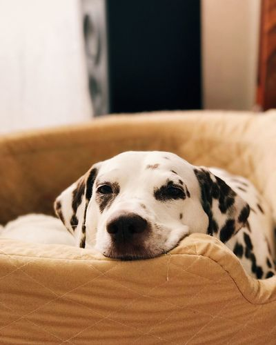 Dog One Animal Pets Dalmatian Dog Animal Themes Domestic Animals Indoors  Mammal Focus On Foreground Bed Close-up Day No People