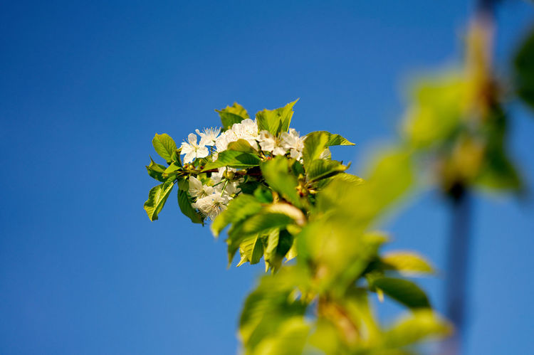 Ast am jungen Kirschbaum Ast Cherry Cherry Blossom Cherry Blossoms Kirschbaumblüten Kirschblüte Kirschblüten  Kirschen  Baum Baum 🌳🌲 Blauer Himmel Blue Sky Cherry Tree Cherryblossom Kirschbaum Kirschblütenbaum Kirschblütenfest сакура