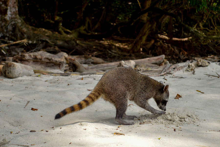 Manuel Antonio Manuel Antonio National Park Costa Rica 🇨🇷 Manuel Antonio Park Wild Animal Animal Themes Animal Wildlife Animals In The Wild Beach Day Nature No People One Animal Outdoors Raccoon Racoon Sand