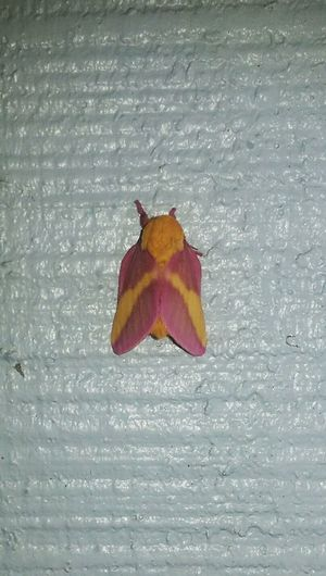 Moth Butterfly Bugs Moths Worm Pink Yellow