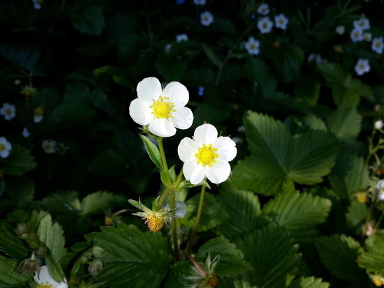 Fragaria Vesca Wild Strawberry Flowers Beauty In Nature Close-up Day Flower Flower Head Flowering Plant Focus On Foreground Fragility Freshness Green Color Growth Inflorescence Leaf Nature No People Outdoors Petal Plant Plant Part Vulnerability  White Color Wild Strawberry Plants