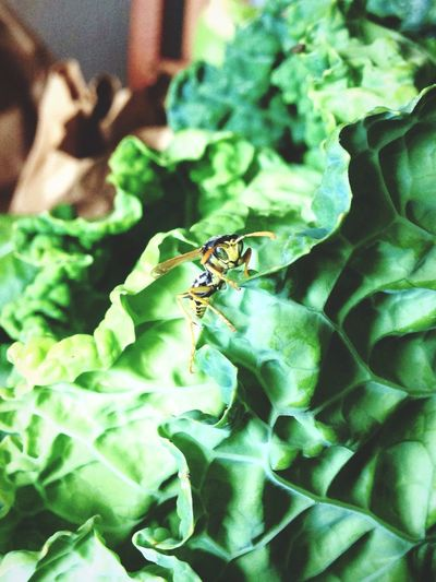 Hello from the other side. Lettuce Wasp Insect Healthy Eating Green Leaves Vegetarian Food Fresh Produce Garden Food Sunday Afternoon Cooking At Home