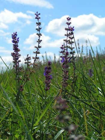Beauty In Nature Cloud - Sky Field Flower Hungary Nature No People Outdoors Plant Purple Sage Sky Tranquility