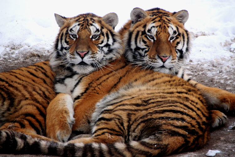 Portrait of tigers lying on land