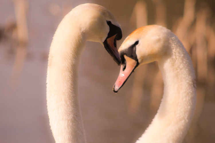 Male Animal Female Animal Lakeside EyeEm Best Shots EyeEm Nature Lover EyeEmBestPics EyeEm Best Shots - Nature Beauty In Nature Wonders Of Nature Mating Season Bird Portrait Beak Swan Cute Close-up Animal Body Part Animal Neck Mute Swan White Swan Water Bird Feather  Freshwater Bird