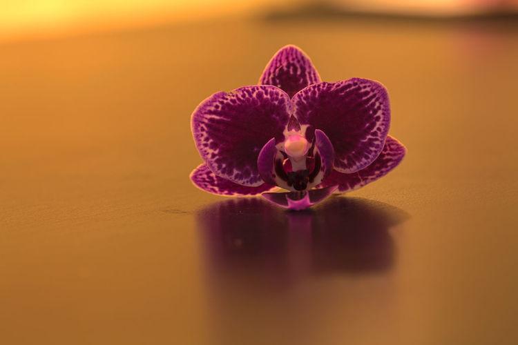 Purple spotted Aranda orchid, Aranda omyai, on a glossy black background Aranda Omyai Aranda Orchid Beauty In Nature Close-up Flower Flower Head Fragility Freshness Horizontal Nature No People Orchid Purple Flower Sunset