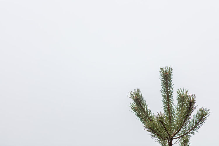 Beauty In Nature Branch Focus On Foreground Fog Isolated White Background Nature Needle - Plant Part Seaside Sweden Tree White Background Winter