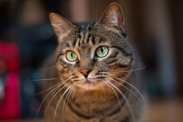 cat Pets Portrait Domestic Cat Looking At Camera Feline Close-up Yellow Eyes Whisker Tabby Cat Carnivora Ear Tortoiseshell Cat Maine Coon Cat Human Ear Tiger Stray Animal White Tiger Captive Animals Persian Cat  Owl Undomesticated Cat Ginger Cat Kitten Big Cat Lemur