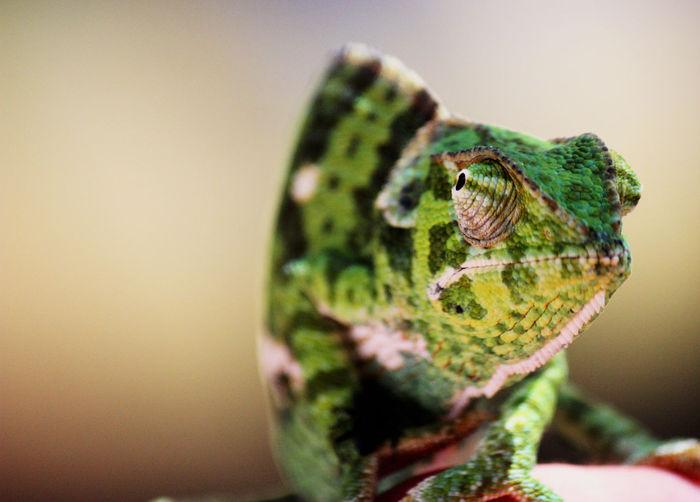 Detail shot of a chameleon
