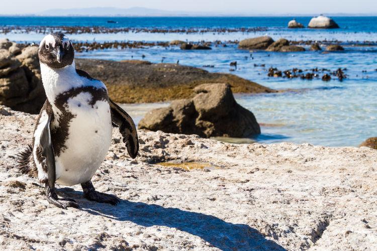Penguin on rock by sea