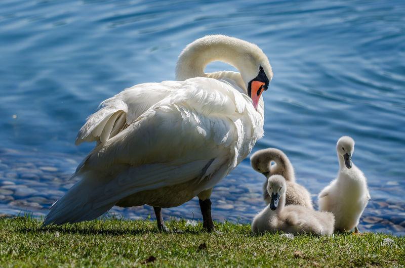 Swan With Cygnets At Lakeshore