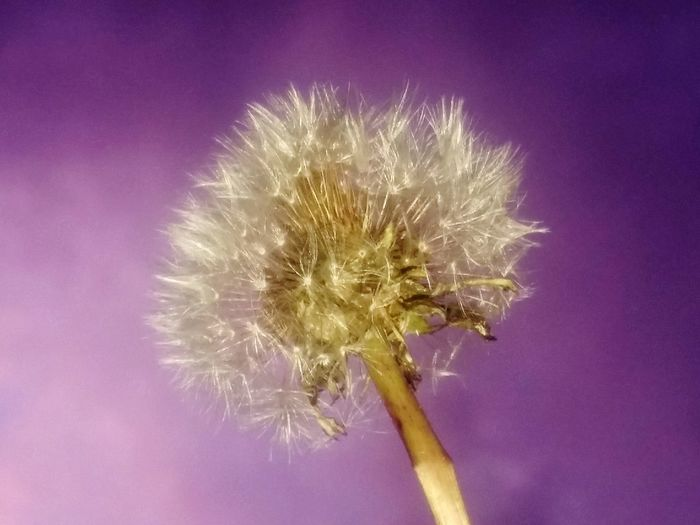 Pusteblume mit Lila Flower No People Purple Pink Color Colored Background Flower Head Fragility Close-up Freshness Flowerpower Flowers,Plants & Garden Flowers, Nature And Beauty Flower_Collection Flower Photography Pusterblume Pusteblume Pflanze Löwenzahn Dandelion In The Sky Dandelion Fluff, Nature, Flowers, Plants, Stem, Dandelion Collection Dandelion Seed Head Flowers_collection Beauty In Nature Freshness