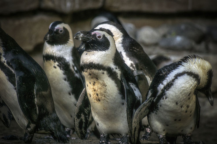 Group Of Animals Animal Animal Themes Animal Wildlife Bird Animals In The Wild Penguin Vertebrate No People Young Animal Animals In Captivity Focus On Foreground Nature Close-up Young Bird Day Zoo Togetherness Three Animals Outdoors Animal Family