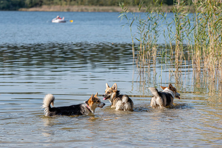 Dogs in a lake