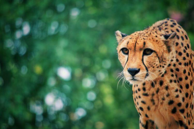 Close-Up Of Cheetah Outdoors