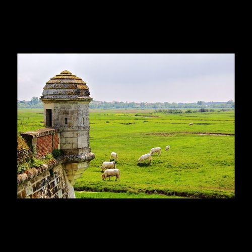 Citadelle de Brouage - Charente-Maritime - France Brouage Citadelle Landscape_photography Beautiful Nature Cows Landscape Landscape_Collection Landscapes Landscape Photography Green