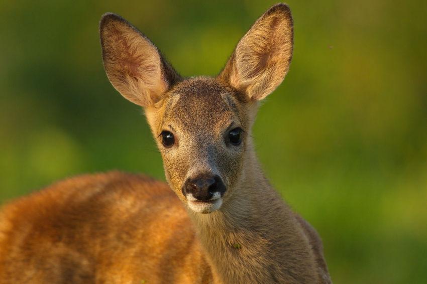 Animal Animal Head  Beauty In Nature Close-up Golden Hour Nature Ree Reekalf Roe Deer Cub Wildlife