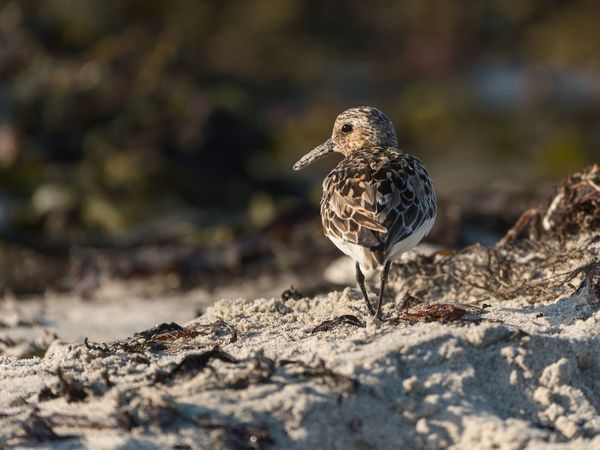 • Juvenile dunlin in its habitat • EyeEm Birds EyeEm Best Shots - Nature EyeEm Nature Lover Helgoland_collection Helgoland Shorebird Dunlin Animal Themes Animal Animal Wildlife Bird One Animal Animals In The Wild Vertebrate Selective Focus Nature Day No People Sand Outdoors