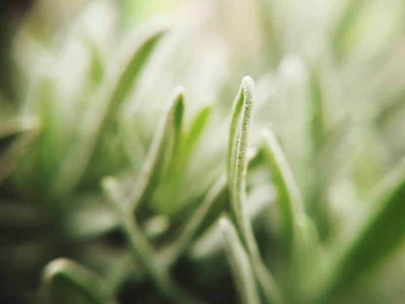 Lavendulum yum Nature Growth Close-up Green Color Plant Agriculture No People Freshness Beauty In Nature Outdoors Day Plant Herb Lavender Lavendar Lavendula Lavender Plant Scented Scent Mediterranean  Mediterranean  Close Up Macro Macro Photography Macro Plants