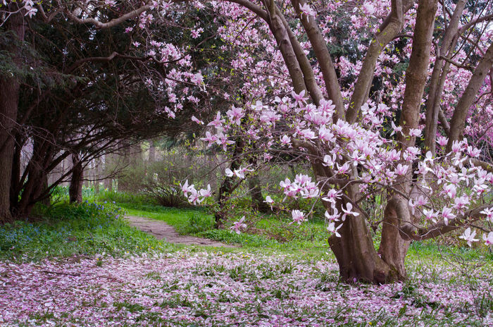 magnolia blossoms on a beautiful tree in Michigan USA Plant Flower Flowering Plant Tree Beauty In Nature Growth Pink Color Freshness Nature Blossom Fragility No People Day Grass Springtime Tranquility Outdoors Park Land Vulnerability  Purple Magnolia Tree Magnolia Blossoms Petal Garden Landscape