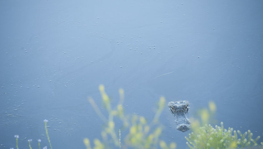 Alligator Beauty In Nature Blue Focus On Foreground Nature Negative Space No People Outdoors Peaking Alliga Surfacing Alligator Water Whatwhowhere