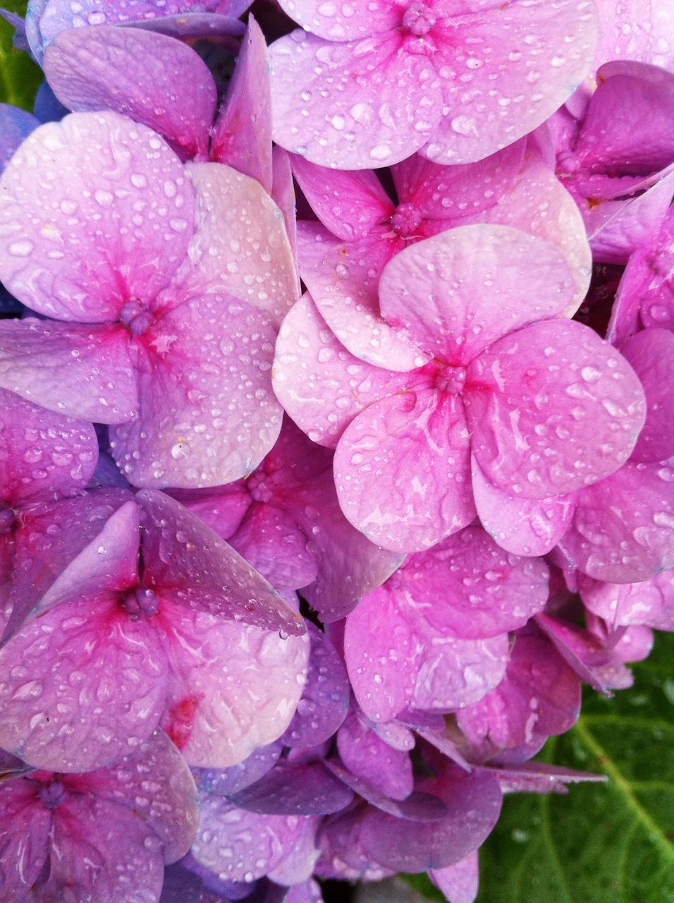 Water Drops On Pink Flowers In Garden