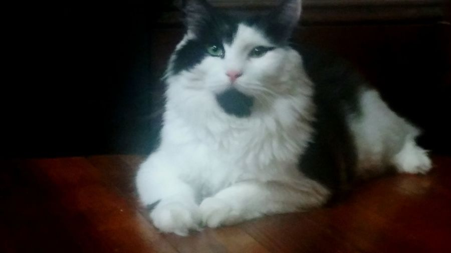 Domestic Cat Pets Domestic Animals One Animal Animal Themes Mammal Looking At Camera Feline Portrait Indoors  Cat No People Persian Cat  First Eyeem Photo