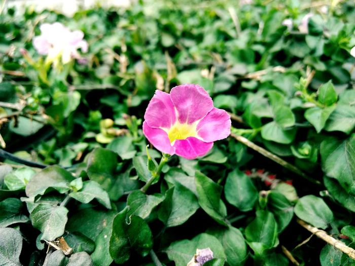 Pink Color Flower Plant Leaf Flower Head Petal Nature Growth Beauty In Nature No People Green Color Freshness Close-up Day Outdoors Fragility Periwinkle Depto Of Field Macro_collection 3XSPhotographyUnity 3XSPUnity Macro Centered