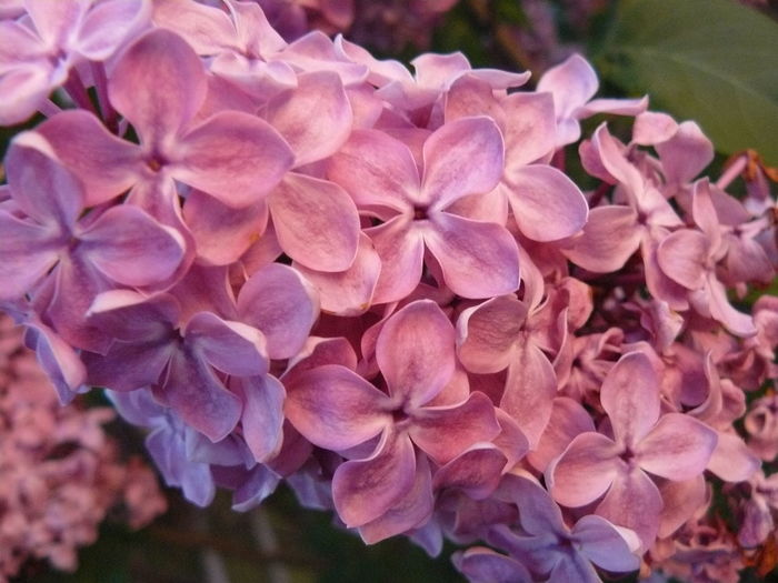 Beauty In Nature Blooming Close-up Day Flower Flowers Fragility Freshness Group Of Flowers Growth Lilac Lilac Flower Nature No People Outdoors Rose Lights