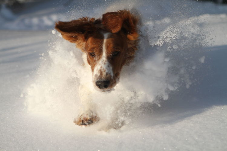 Happy Running Animal Themes Dog Motion Nature One Animal Outdoors Pets Playing Portrait Powdersnow Snow First Eyeem Photo