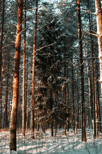 christmas tree Tree Plant Cold Temperature Snow Winter Forest Tree Trunk No People Day Beauty In Nature Outdoors Nature