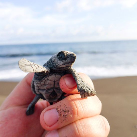save the turtles! Turtle 🐢 Turtles Save The Turtles Savetheplanet Travel Close-up Guatemala EyeEm Selects Human Hand Reptile Sea Life Sea Sea Turtle Beach Pets Sand Tortoise Holding Turtle Human Finger Shore Animal Shell Tortoise Shell My Best Travel Photo