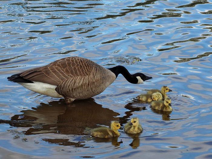 Bird Swimming Water Lake Close-up Greylag Goose Goose Geese Gosling Chick Young Bird Water Bird Canada Goose