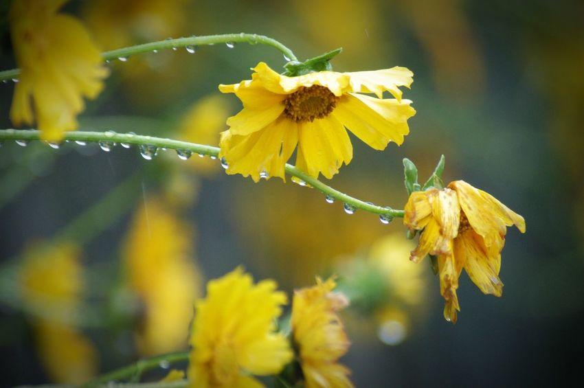 想い出にすがるのは、忘れられない自分に酔っているだけ。 Nature Flower Rain 雨粒 水滴 Raindrops キバナコスモス Yellow Yellow Flowers