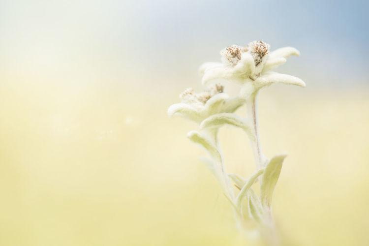 Two blooming edelweiss flowers in a field