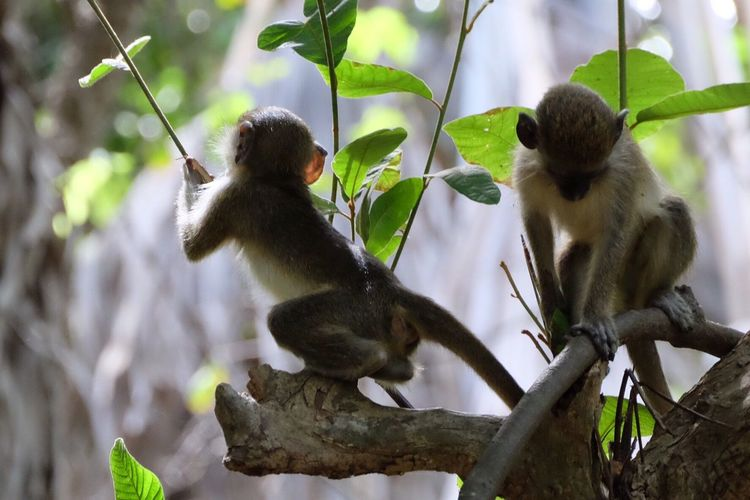Monkey Animal Themes Animals In The Wild Animal Wildlife Nature No People Mammal Fujifilm Gambia  Macaque Animal Photography Animals Playing The Great Outdoors - 2017 EyeEm Awards Neighborhood Map