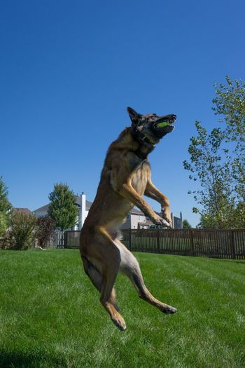 Belgian malinois in mid-air with ball at backyard