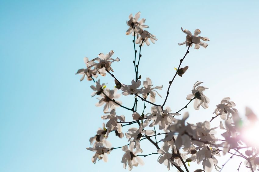 ©668 Magnolia stellata Naturebooth Magnolia Tree Magnolia Berlin Germany Tadaa Community EyeEm Masterclass Simple Quiet Love Skyporn Sunlight Sun White Garden Exceptional Photographs EyeEm Nature Lover EyeEm Best Shots Malephotographerofthemonth Followme Plant Sky Tree Low Angle View Flowering Plant Flower Beauty In Nature Clear Sky Nature Blossom Vulnerability  Fragility This Is Family Visual Creativity EyeEmNewHere