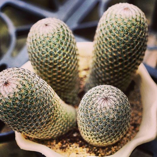 Cactus Succulent Planting 仙人掌 多肉植物 植栽