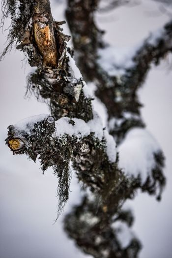 Winter Nature Cold Temperature Tree Snow Outdoors Day Beauty In Nature No People Close-up Animal Themes Sky Lychen