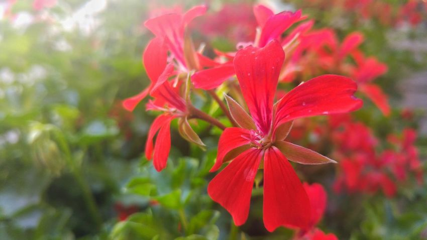 Hungary Hungarian Red Flower Flowers Flowerporn Nature Naturalovers LGG4 Macro Phtotography