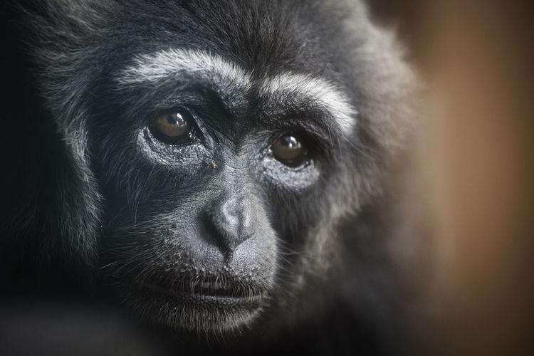 Close-up portrait of a gibbon monkey