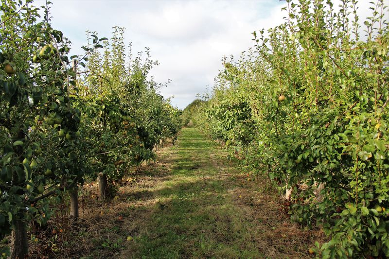 Apple Apple Orchard Autumn Autumn colors Event Healty Food Nature Nature Photography See What I See South Limburg Walking Around Taking Pictures Apple - Fruit Apple Picking Day Apple Tree Apples Beauty In Nature Fruit Healthy Eating Nature Nature_collection No People Orchard Outdoors Plant Pure Nature