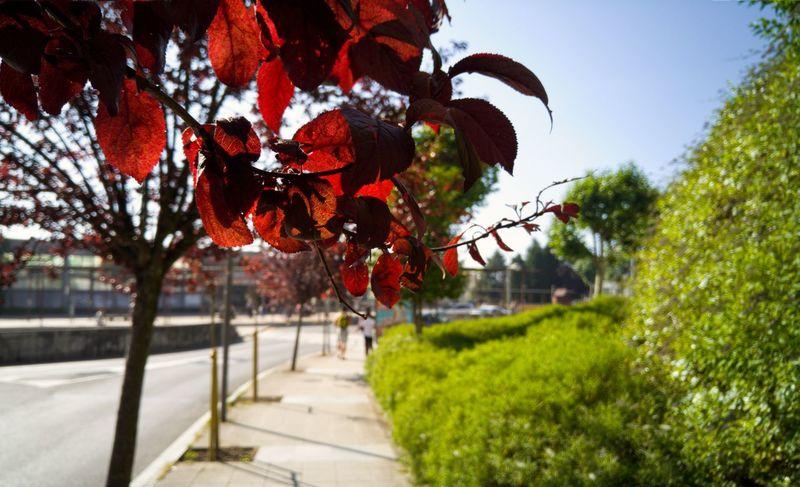 Hojas rojas (II) - Redleaves (II) Red Red Leaves Rojo Roja Street Photography Streetphotography Fotografia De Rua Fotografía Callejera Enjoying Life LG G4 Lg G4 Photography Santiago De Compostela Mobile Photography